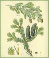 Balsam Fir scented