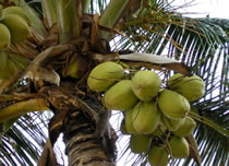 coconuts in palm tree photo