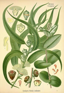 herbaria uses eucalyptus in its all natural soaps