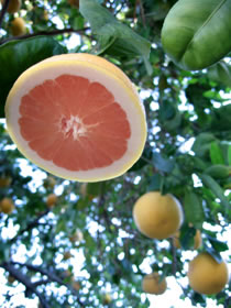 sliced grapefruit in tree photo