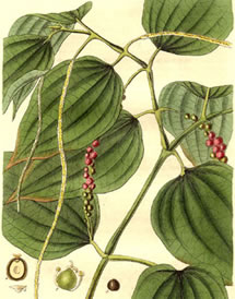 green peppercorn plant drawing