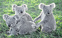 koalas love herbaria's all natural soaps