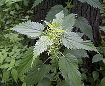 nettle plant photo