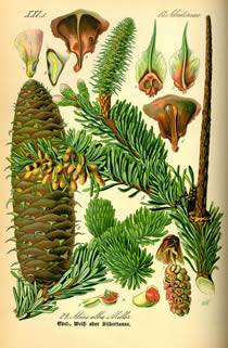 silver fir drawing