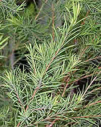 tea tree plant photo