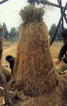 men harvesting vetiver roots photo